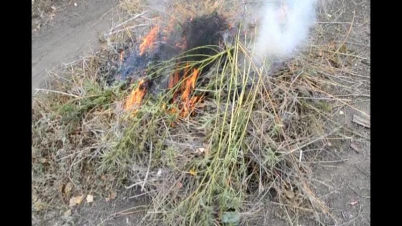 Квадратные метры конопли уничтожено в Гае