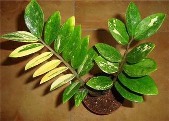 Почему желтеют листья у замиокулькаса и что делать