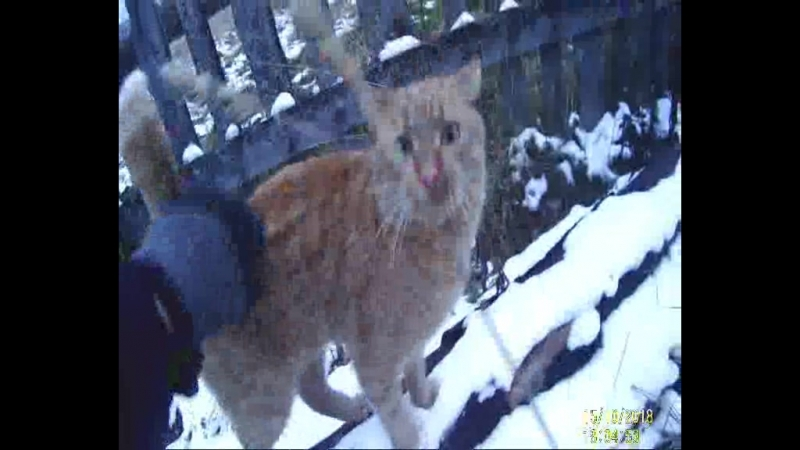 Зимний кот. Чиж. Постоянно орёт.