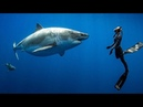 Searching for the Worlds Largest Great White Shark ft Ocean Ramsey Hawaii USA