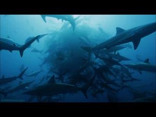 BBC «Вся правда об акулах» (1 серия) (Познавательный, природа, животные, 2015)