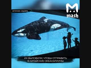 На Сахалине люди просят освободить касаток и белуг из