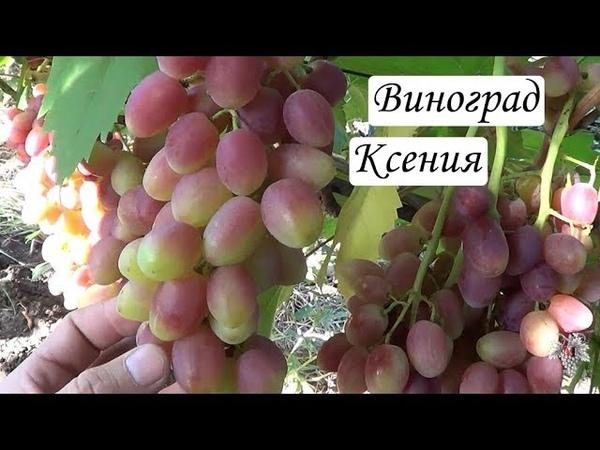 Сорт Винограда Ксения. Урожай. Виноград 2018.