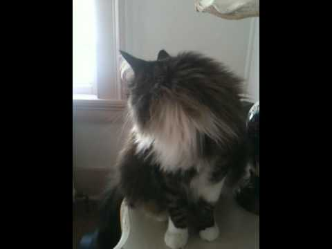 Our Maine Coon chirps and talks to wake us up