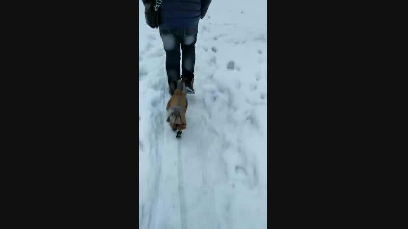 Жорик гуляем Гуляем с Жориком зимой