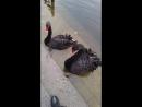 Кормление чёрных лебедей