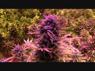 Задержан подозреваемый в хранении и сбыте марихуаны