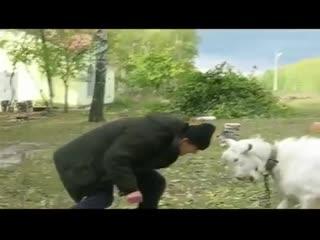 Атака баранов.