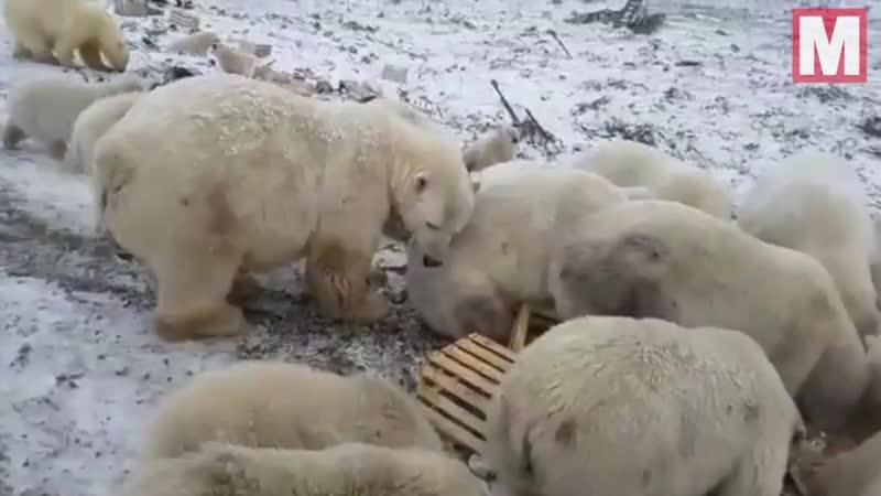 Голодные белые медведи бродят в поисках пищи в России