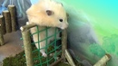 Hamster takes on the Military Obstacle Course