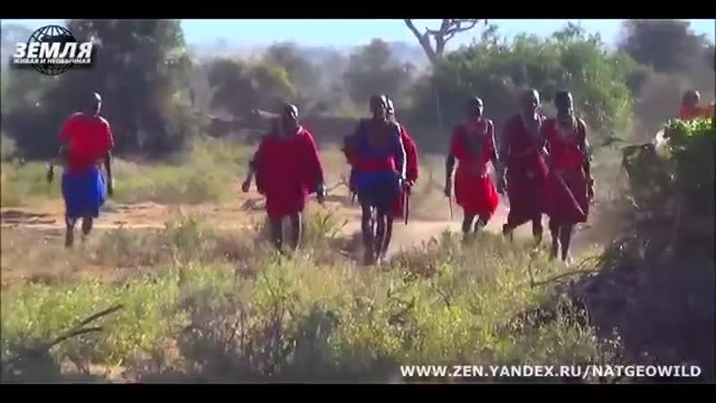 Масаи показали туристам кто в саванне главный