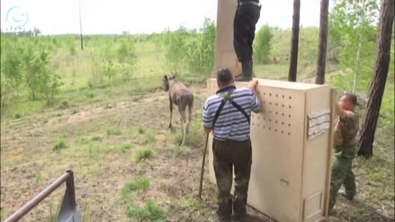Сотрудники Новосибирского зоопарка выпустили годовалого лосёнка на природу