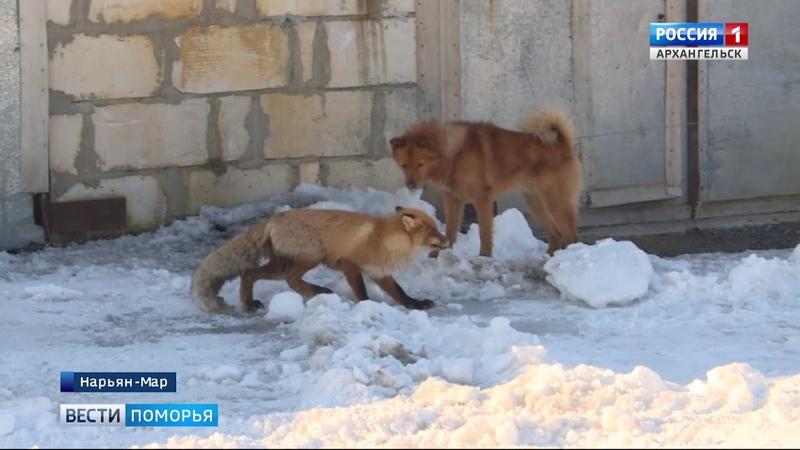 В Заполярье зафиксировано увеличение случаев бешенства у диких лис