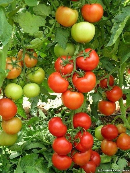 ТОМАТЫ: как помешать своему урожаю