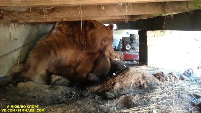 Непрошенный, гордый гость, уходит красиво! Медведь на даче.