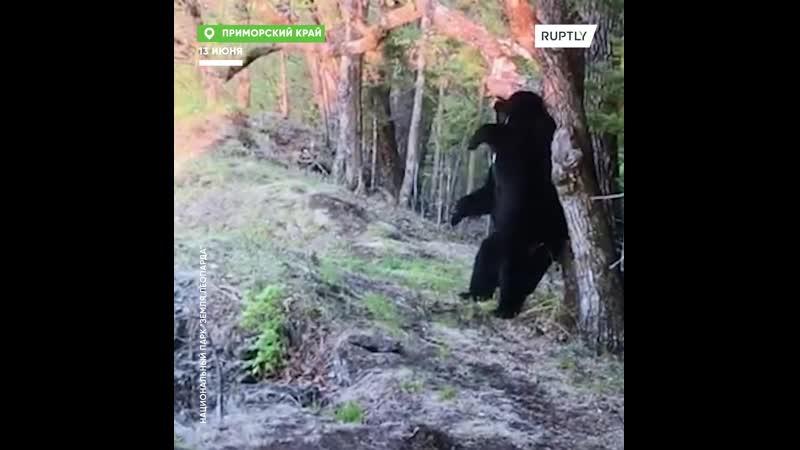 Медведь открыл творческий потанцевал, но попытался уничтожить видеоулики