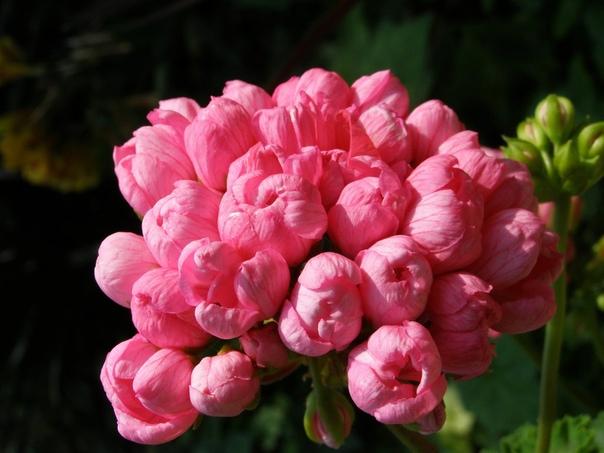 Тюльпановидная пеларгония.