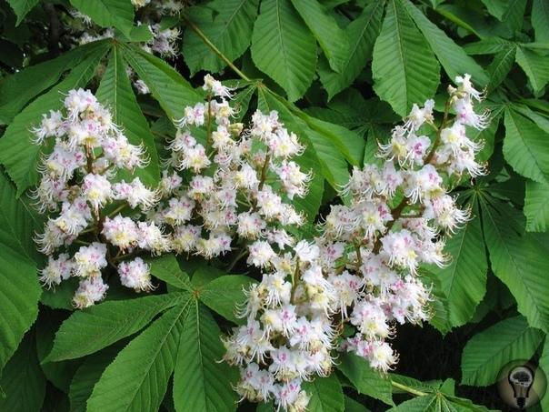 Полезные свойства цветков каштана
