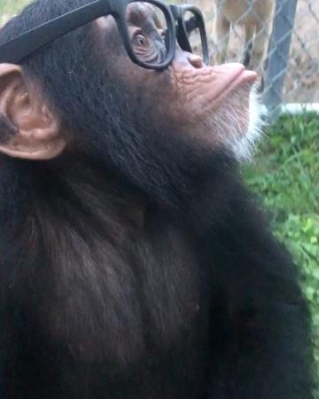 "Limbani on Instagram: ""Limbani wishes everyone a safe and happy first day back to school!🤓📚✏️ limbani chimpanzee chimp zwf criticallyendangere..."