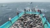 Amazing Fast Tuna Fishing Skill, Too Many Fish! Catching Tuna on The Big Sea