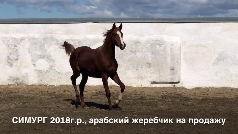 СИМУРГ 2018г.р., продажа арабского жеребчика тел., WhatsApp 79883400208