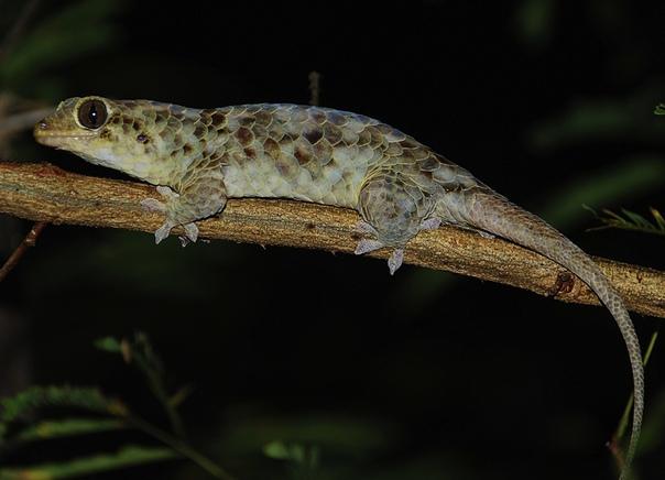 Gecolepis Megalepis - это вид гекконов, недавно обнаруженный в Северном Мадагаскаре