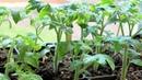 28. Проверенный временем способ выращивания рассады перца и помидор.