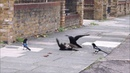 Sparrowhawk attacks jackdaw, then gets mobbed