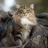 Питомник норвежских лесных кошек Wes Bure