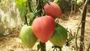 Спасаем урожай томата от слишком большого урожая