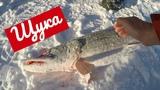 Щука 3800 на Обском море У Путина была крупнее Зимняя Рыбалка Спирино