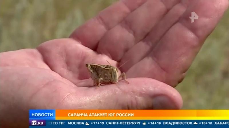 Гигантские тучи саранчи атакуют юг России