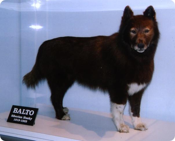 История о мужественной собаки Балто
