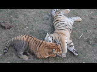 Скандал у тигров !Василиса дает жару всем