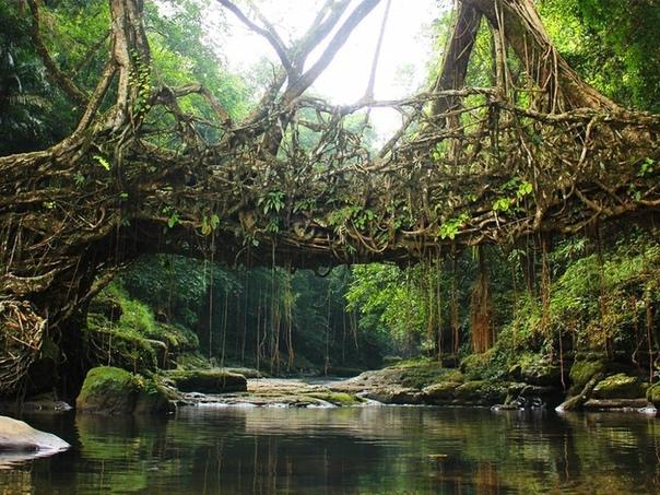 Живые мосты и здания: как индийцы вдохновили ученых на создание новой архитектуры Каждый раз, когда в индийский штат Мегхалая приходят муссонные дожди, реки в этом горном регионе превращаются в