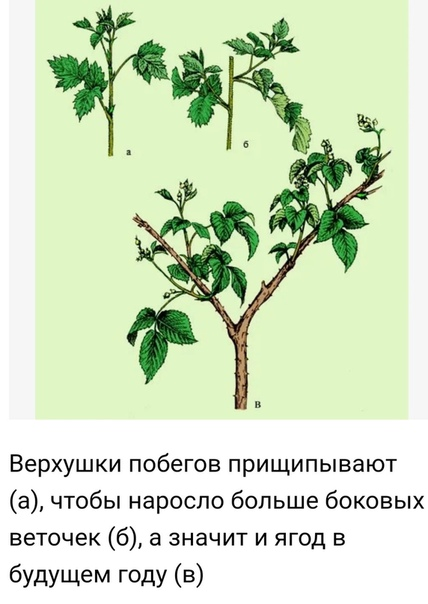 Зачем нужно обрезать ежевику в июле и как сделать это грамотно Ежевика, растёт так же, как малина, бывает обычной и ремонтантной, правила обрезки к ней применяют похожие. Только побеги у ежевики
