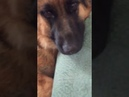Папа ругает собаку . Немецкая овчарка