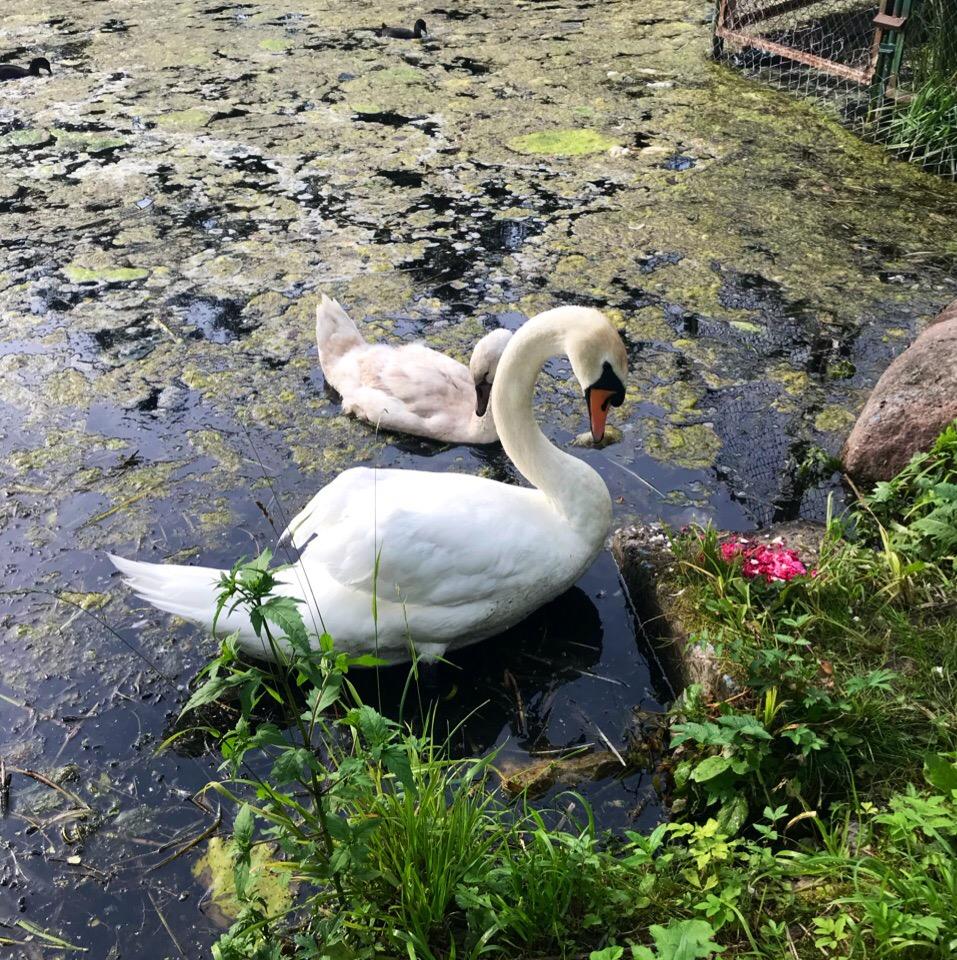 В Гатчине туристов просят не приближаться к вдовцу-лебедю с птенцом