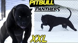 Panther Puma No, it's PITBULL The Most Beautiful Black Pit Bulls