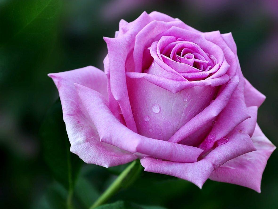 самые полезные эфирные масла: роза