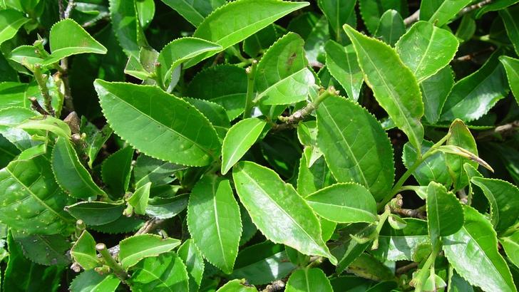 самые полезные эфирные масла: Чайное дерево