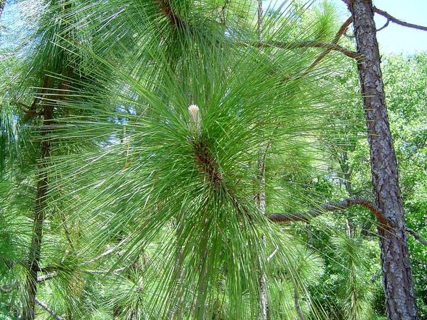 Болотная сосна (Pinus palustris)
