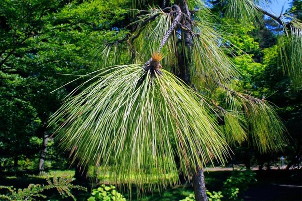 Болотная сосна (Pinus palustris) Это дерево растет в Северной Америке и является символом штата Алабама. Болотная сосна отличается декоративностью и исключительной пожароустойчивостью. Вырастает