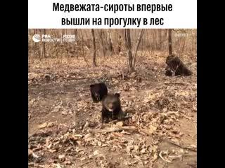 Трех медвежат-сирот впервые выпустили на прогулку