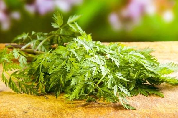 Кервель вырастет на окошке Витаминный кервель, который используют как петрушку, можно выращивать и в комнатных условиях. В европейской части нашей страны кервель обыкновенный, или купырь