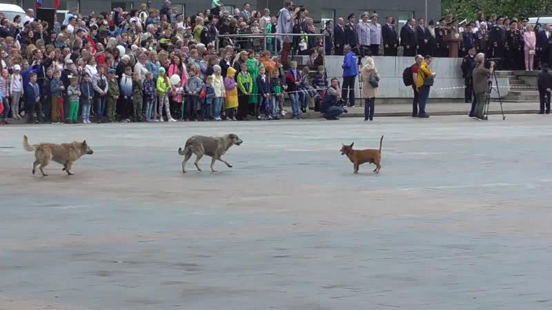 Три собаки выбежали на парад Победы, площадь Ленина, город Орёл