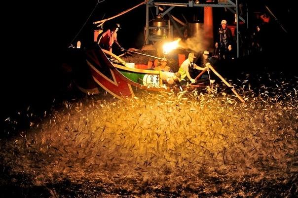 Вместо живца: как ловят рыбу на огонь Не только насекомых привлекает свет в темноте, но и некоторых рыб. В основном на него плывут скумбрия, сардина, сельдь и другие виды пелагических рыб.Они