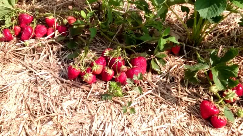 клубника - земляника - крупноплодныеягодысадовойземляники - ягодыклубники