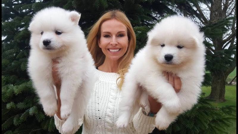 SAMOYED PUPPIES BEST SAMOYED DOG BREED GUIDE