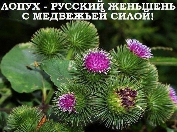 Лопух  это российский женьшень, чудо-корень, запасы его неограниченны